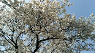 2018桜_180412_0001.jpg