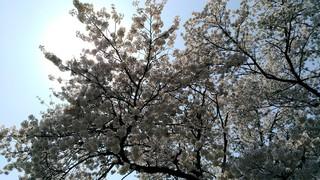 2018桜_180412_0002.jpg