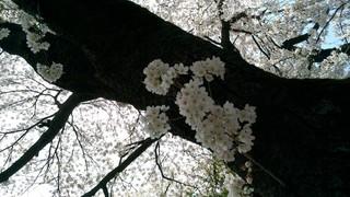 2018桜_180412_0003.jpg