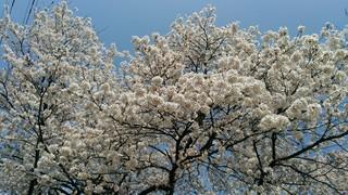 2018桜_180412_0004.jpg