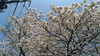 2018桜_180412_0005.jpg