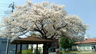 2018桜_180412_0006.jpg